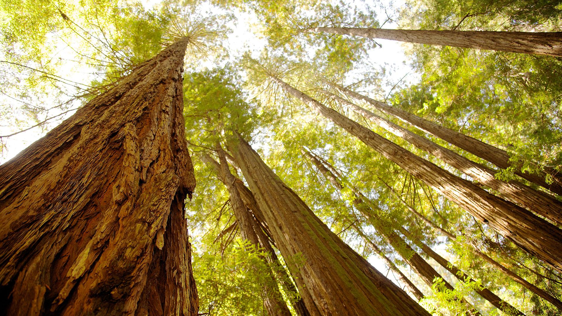 Redwoods, Muir Woods